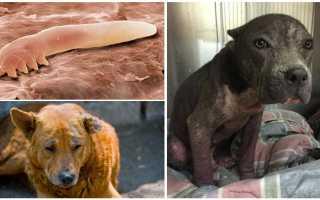 Как выглядит подкожный клещ у собак, демодекоз у французского бульдога