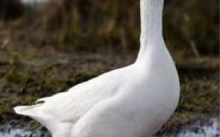 Как отличить тушку гуся от утки?