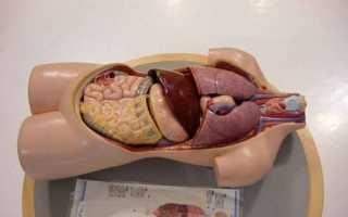 Самый длинный орган у человека