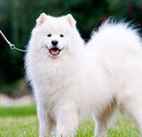 Самоедская лайка почему так называется, сыроед собака